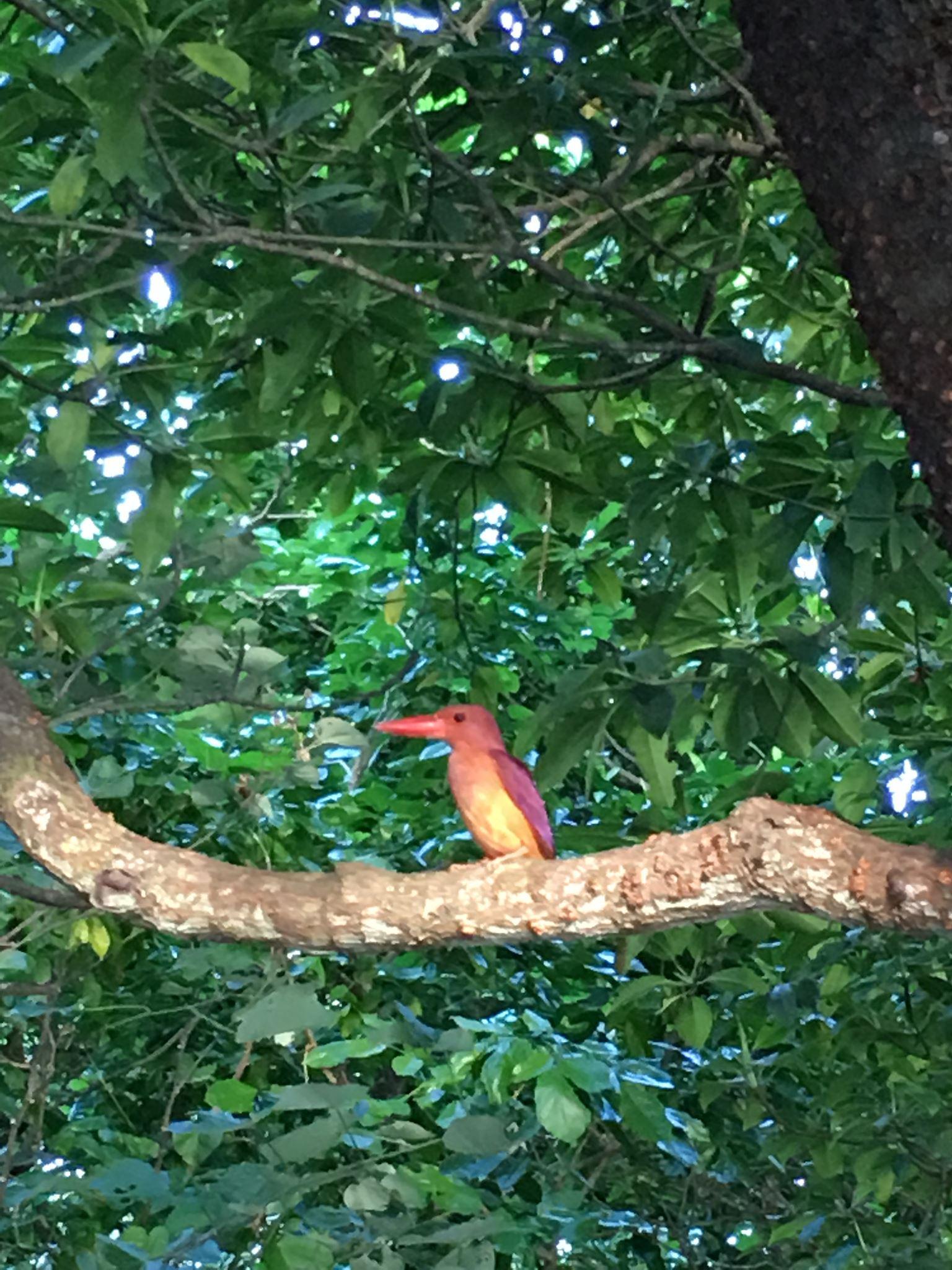 マングローブカヌーで出会ったアカショウビン 石垣島で旅行